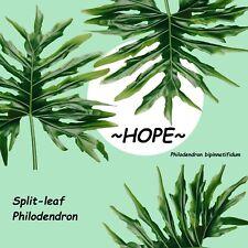 ~HOPE~ Split-leaf Philodendron bipinnatifidum 12-18+inch nice Small Potd PLANT