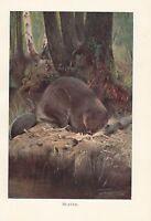 C1914 Natural History Estampado ~ Beaver (Castor) ~ Lydekker