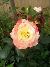 Chihuly Yellow Orange Rose 1 Gal. Live Bush Plants Floribunda Plant Fine Roses