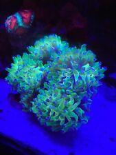 Euphyllia paradivisa, Purple Tipped Frog Spawn, Coral
