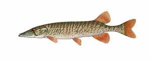 10cm Hecht Aufkleber Sticker Angeln Angelsport Fisch Angel Hochseeangeln Angler