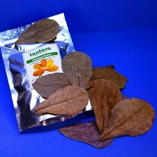 50pcs 10~18cm Tantora Catappa Leaves Grd A Indian Almond Leaf KETAPANG shrimp