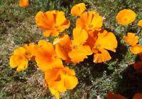 500/3000 GRAINES PAVOT DE CALIFORNIE ORANGE VIF JAUNE Fleurs sauvages Coquelicot