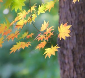 Acer pseudosieboldianum (Korean Maple) - 10 Tree Seeds | RARE Garden Bonsai UK
