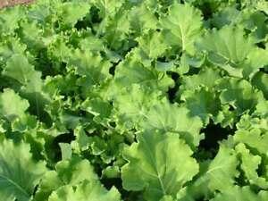 Kale 285 Pentland Brig Seeds - UK Seller