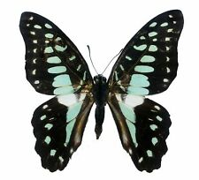 Real Graphium eurypylus Tropical Butterfly, Great Jay A1, Unmounted