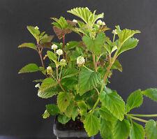 Aztec Sweet Herb - Lippia dulcis - Plant