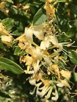 6 Japanese Honeysuckle Yellow White Live Bare Root Starter Vines Plants FRAGRANT