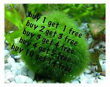 Marimo Moss Balls 1.9 inch (5cm) (Cladophora) Live Plant Aquarium Tank In USA