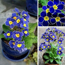 100pcs Beautiful Blue Evening Primrose Seeds Pansy Garden Perennial Flower Hot