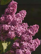 50 Flieder-Samen (Syringa vulgaris), intensiver Duft, viele hübsche Blüten