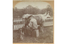 FUNNY - MAN MILKING COW + SQUIRTING CAT DRINK - VINTAGE STEREOVIEW