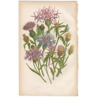 Anne Pratt antique 1860 botanical print Flowering Plants Pl 118 Star Thistle