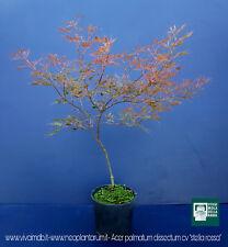 ACER PALMATUM DISSECTUM cv ''STELLA ROSSA'' v18 pianta acero giapponese