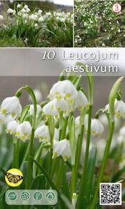 Nr. 802- Märzenbecher 'Lencojum Aestivum',( Knotenblume ) Gr.10/12, 25 Stück