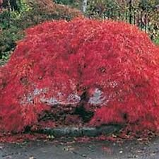 5 JAPANESE ACER BLOODGOOD TREE SEEDS FOR BONSAI OR GARDEN 5X