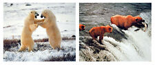 Polar Bear And Grizzly Brown Bear Fishing Nature Two Set 8x10 Picture Wall Decor