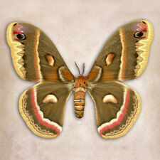 Moth Cecropia Buterfly Art  by Richard Reynolds Canvas Giclee Museum Wrapped