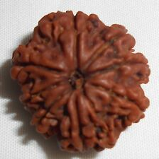 Rare 8 Mukhi Rudraksha Bead, Genuine Matured Blessed by Priest w/ Sandalwood Oil