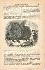Hystrix cristata Porc-épic à crête mammifères rongeurs Hystricidae GRAVURE 1837