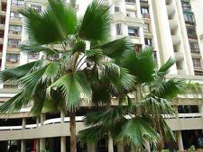 Pritcharda pacifica - Fiji Fan Palm - 10 Seeds