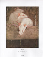 BEAUTIFUL VINTAGE BIRD PRINT ~ THE RAT ~ THE BOOK OF BABY BEASTS ~ DETMOLD