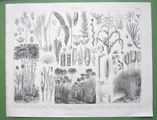 BOTANY Aquatic Plants Bamboo SUgar Cane Peanut Rice - Original Engraving Print