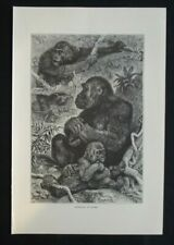 Antique Print: Gorillas by Friedrich Specht, The Royal Natural History, 1893