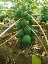 Carica papaya Papayasamen 100 Stck. fair gehandelt