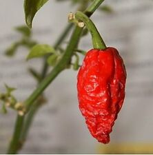 Hot Giant Spices CHILLI PEPPER Bhut Jolokia- Naga Jolokia 50 Garden Rare Seeds