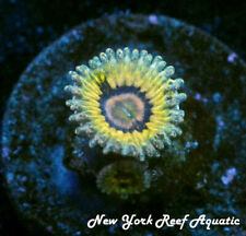 New York Reef Aquatic - 0611 D1 Queen Strat Zoanthid, Zoa, Wysiwyg Live Coral