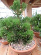 Pinus heldreichii Little Dracula - Schlangenhautkiefer Little Dracula