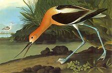 Audubon Reproductions: Birds of America - American Avocet - Fine Art Print