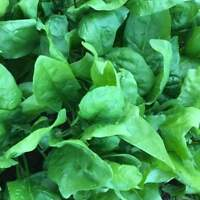 Viroflay Spinach Seeds, Monstrueux de Viroflay, NON-GMO, Variety Sizes Sold