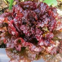 LEAF LETTUCE SEEDS RUBY RED LEAF FRESH 2020 USA seed pack organic heirloom seed