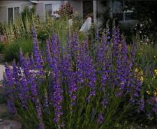 Penstemon Rocky Mountain Blue 100 Seeds Hummingbirds Butterflies! Free Ship