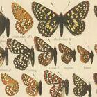 Antique Original 10 plates Adelbert Seitz Macrolepidoptera Butterfly America