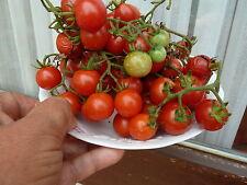 """15 graines Tomate GARDENER'S DELIGHT   """" délice du jardinier""""   SEEDS produc BIO"""
