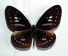 EUPLOEA ALGEA HORSFIELDI - unmounted butterfly