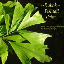 ~FISHTAIL PALM~ Caryota Mitis GREEN w/ Variegated GENES!! 10-16+inch potd PLANT