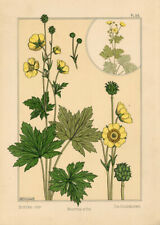 Maurice P Verneuil Art Nouveau Bouton d'or La Plante Grasset Lithographie