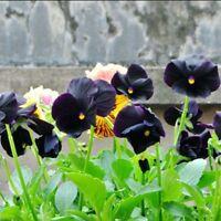 Rare 30 pcs Black Pansy Flower Seeds Perennial Beautiful Garden Plant Bonsai