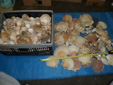 Job Lot of thousands collection shells (many years work). Ruler presents 50 cm.