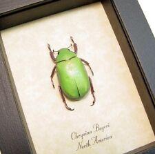 Real Framed Chrysina Beyeri Beyers Scarab Leaf Beetle 2259