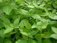 3,000 Lemon Basil Seeds Herb Seeds