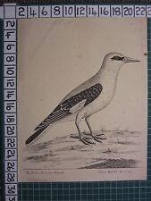 1736 DATED THE YELLOW BIRD FROM BENGAL ~ ANTIQUE BIRD PRINT ELEAZER ALBIN ~