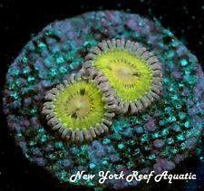 New York Reef Aquatic - 0611 E2 Chiquita Zoanthid, Zoa, Wysiwyg Live Coral