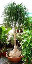 Beaucarnea recurvata Ponytail palm 15 seeds