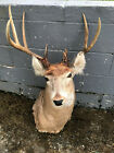 Taxidermy FREAK- CRAZY 13 point Antlers W/T DEER Mount Log Cabin Hunting Decor