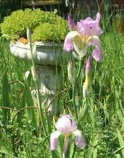 Qty 2 Gorgeous Pink Purple tall bearded iris rhizome rhizomes tuber bulbs